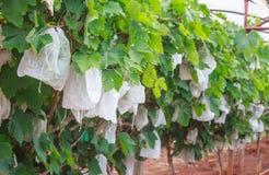 Druiven met groene bladeren op de wijnstok royalty-vrije stock foto