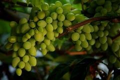 Druiven op boom Stock Fotografie