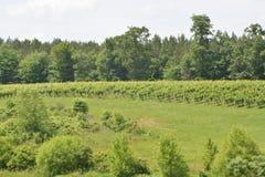 Druiven op de heuvel Stock Afbeelding