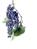 Druiven op de Wijnstok stock foto