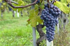 Druiven op de wijnstok Stock Foto's