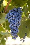 Druiven op de wijnstok Stock Afbeeldingen