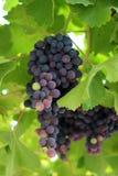 Druiven op de Wijnstok Stock Afbeelding