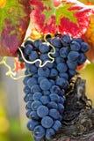 Druiven op de wijnstok Royalty-vrije Stock Foto