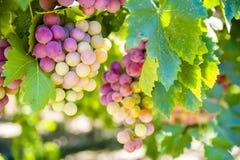 Druiven op de Wijnstok Royalty-vrije Stock Foto's