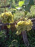 Druiven op de wijnstok en omringd door bladeren Royalty-vrije Stock Fotografie