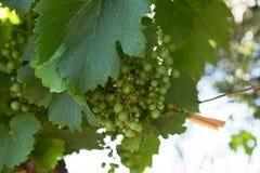Druiven op de Wijnstok, Mendoza stock afbeeldingen