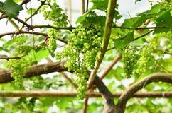 Druiven op de wijnstok in wijngaard Royalty-vrije Stock Foto's