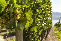 Druiven op de Wijnstokclose-up Stock Foto's