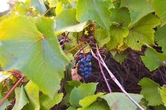 Druiven op de zon stock fotografie