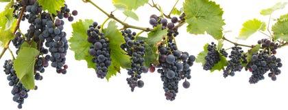 Druiven op een tak met bladeren stock foto's