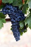 Druiven op een wijnstok Royalty-vrije Stock Foto's