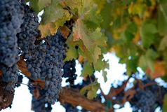 Druiven op een Wijnstok Stock Afbeeldingen