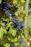 Druiven op een wijnstok met houten achtergrond stock foto's