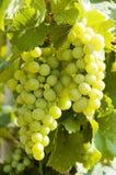 Druiven op een wijnstok met houten achtergrond royalty-vrije stock afbeelding