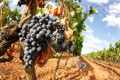 Druiven op gebied Royalty-vrije Stock Foto