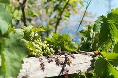 Druiven op Ikaria, Griekenland Royalty-vrije Stock Afbeeldingen