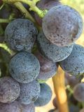 Druiven op vine3 Royalty-vrije Stock Foto