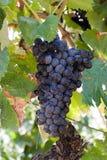 Druiven op Wijngaard Stock Afbeelding