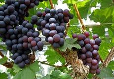 Druiven op wijnstok Stock Foto