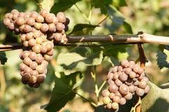 Druiven op wijnstok Stock Afbeeldingen