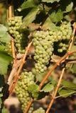 Druiven op wijnstok royalty-vrije stock afbeelding