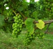 Druiven op wijnstok. Stock Afbeeldingen