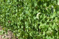 Druiven op wijnstok Royalty-vrije Stock Foto's
