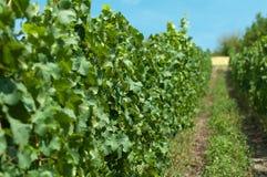Druiven op wijnstok Stock Foto's