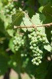Druiven op wijnstok Royalty-vrije Stock Afbeeldingen