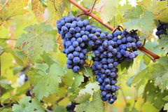 Druiven op wijnstok Royalty-vrije Stock Foto