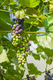 Druiven op wijnstok Royalty-vrije Stock Fotografie