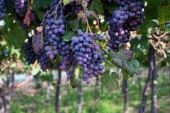 Druiven op wijnstok in wijngaard stock afbeeldingen
