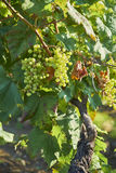 Druiven op wijnstokken Royalty-vrije Stock Fotografie