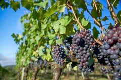 Druiven op Wijnstokken met Blauwe Hemel Royalty-vrije Stock Fotografie
