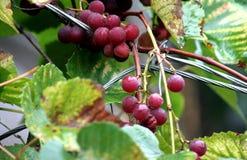Druiven, roze Isabella, in regenachtig weer Royalty-vrije Stock Afbeeldingen