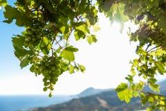 Druiven in tegenovergesteld licht royalty-vrije stock afbeelding