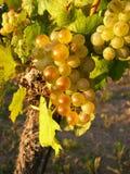 Druiven uitstekend beeld royalty-vrije stock fotografie