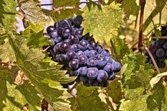 Druiven van Chianti Stock Foto