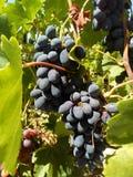 Druiven van rijpe druiven op de wijnstok stock foto's