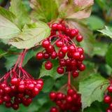 Druiven van viburnum Stock Fotografie