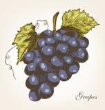 Druiven, vectorillustratie Stock Afbeelding