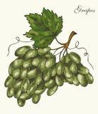 Druiven, vectorillustratie Royalty-vrije Stock Afbeeldingen