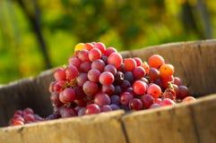 Druiven in wijngaard royalty-vrije stock foto