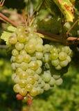 Druiven   Wijngaard Stock Afbeeldingen
