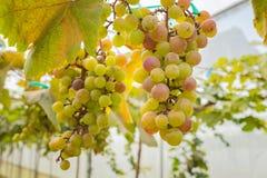 Druiven in wijngaard Stock Afbeeldingen