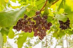 Druiven in wijngaard Royalty-vrije Stock Fotografie