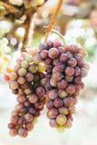 Druiven in wijngaard Stock Foto