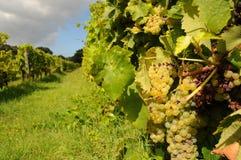 Druiven in wijngaard Stock Foto's