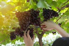 Druiven in wijngaard Royalty-vrije Stock Afbeelding